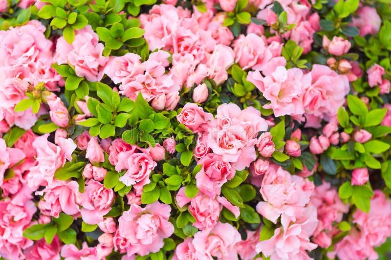 Rododendron Japanse Azalea royalty-vrije stock foto's