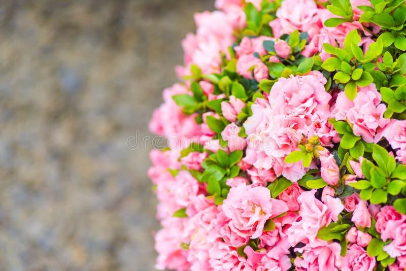 Rododendron Japanse Azalea royalty-vrije stock fotografie