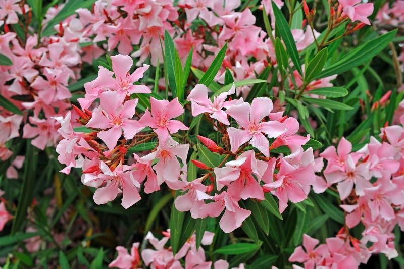 Rododendron met gevoelige roze bloemen stock afbeelding