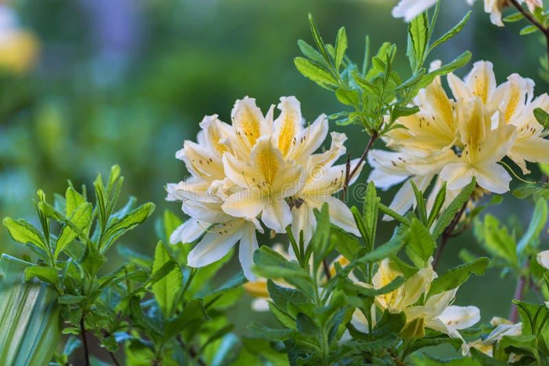 Rododendron molle japonicum royalty-vrije stock afbeeldingen