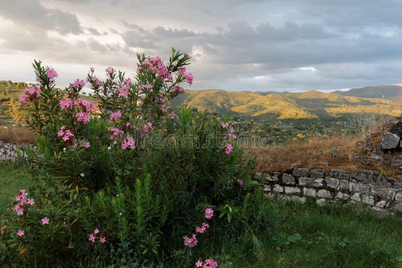 Rododendron op de heuvel stock afbeelding