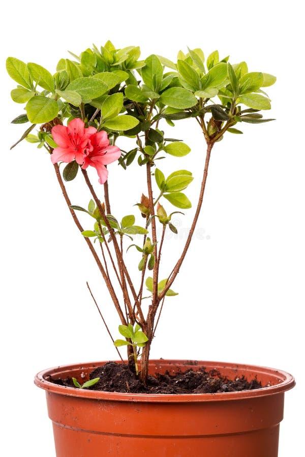 Rododendron in potten royalty-vrije stock afbeeldingen