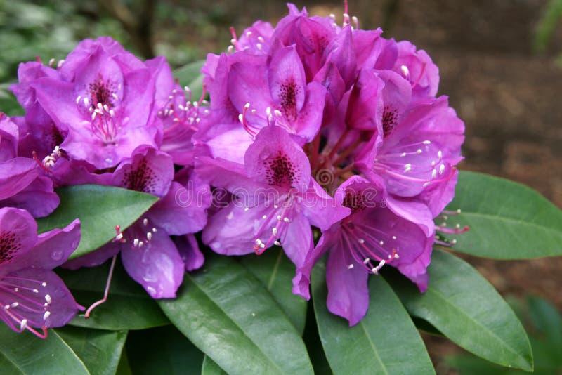 Rododendron 'Purpere Hartstocht' royalty-vrije stock foto