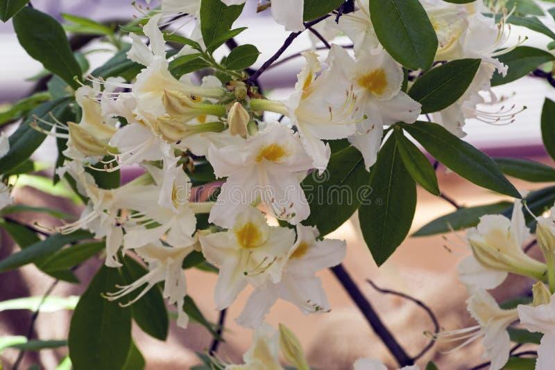 Rododendron van de Astra-species royalty-vrije stock fotografie