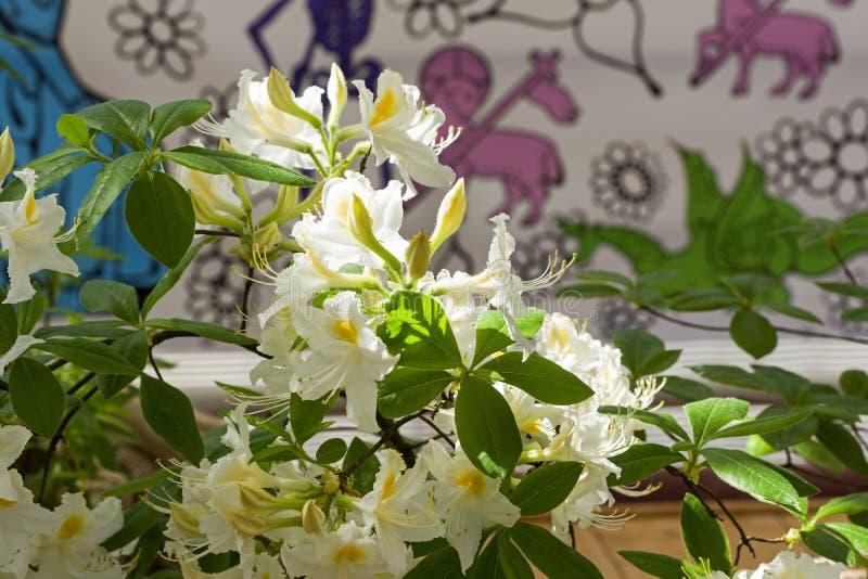 Rododendron van de Astra-species stock afbeeldingen