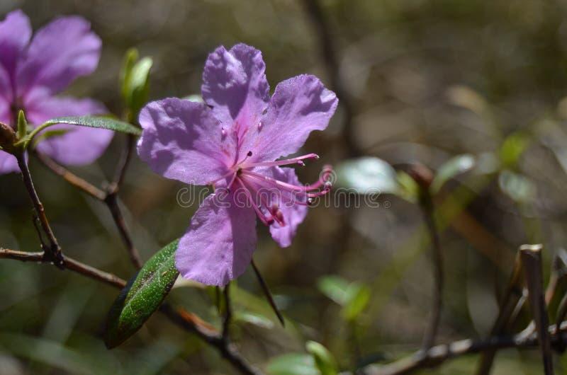 Rododendronbloei, mooie purpere bloemen van de rododendron stock fotografie