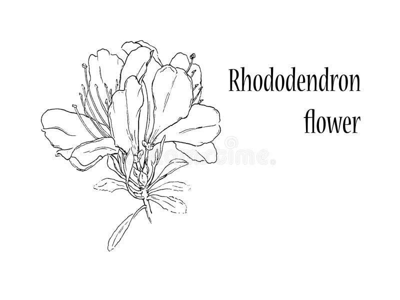 Rododendronbloem op witte achtergrond vector illustratie