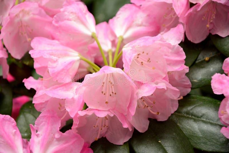 Rododendronbloemen royalty-vrije stock foto's