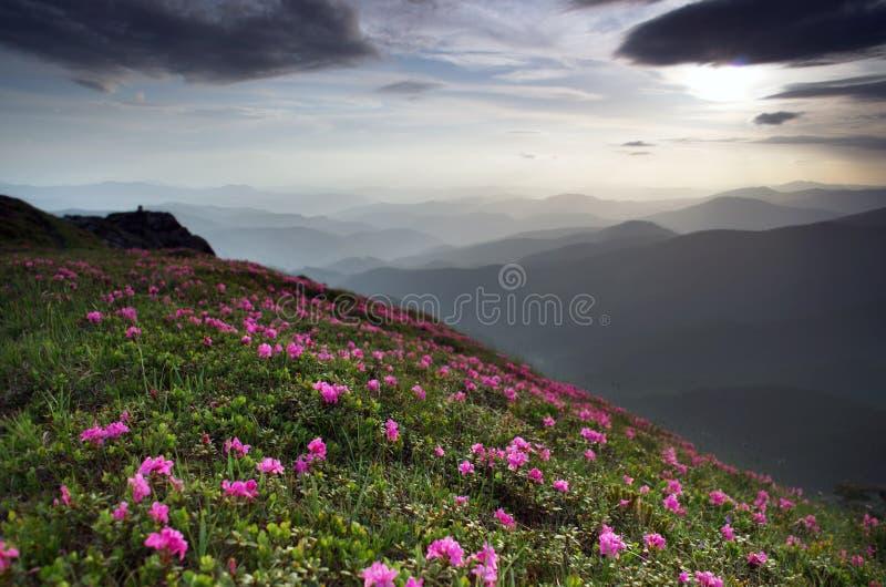 Rododendronbloemen in de bergen stock afbeeldingen