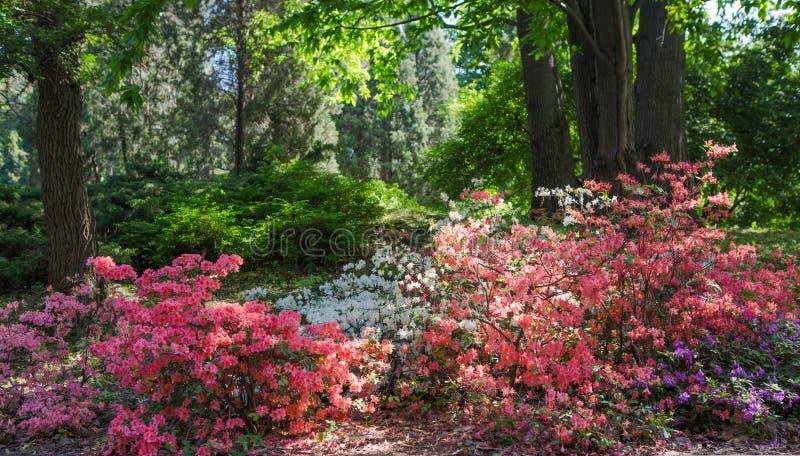 Rododendroninstallaties in bloei met bloemen van verschillende kleuren Azaleastruiken in het park royalty-vrije stock foto's