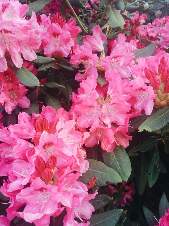 Rododendroninstallaties in bloei met de struiken van de bloemenazalea in het park Rododendroninstallaties in bloei royalty-vrije stock foto