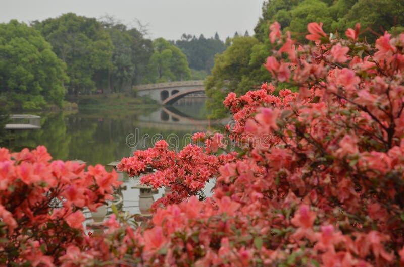 Rododendronlandschap in de tuin stock fotografie