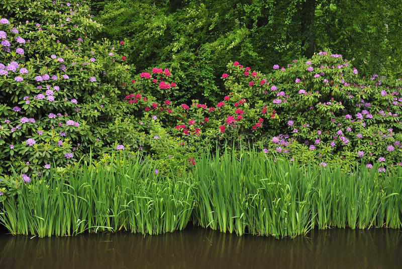 rododendronowi piękni kwiaty zdjęcia stock