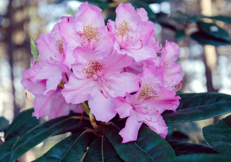 Rododendronowy kwiatostan na krzaku obraz royalty free