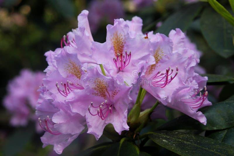 rododendrons stock afbeeldingen