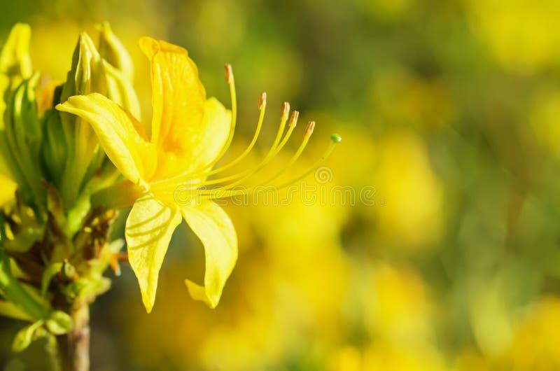 Rododendrons en azalea's in de tuin stock fotografie