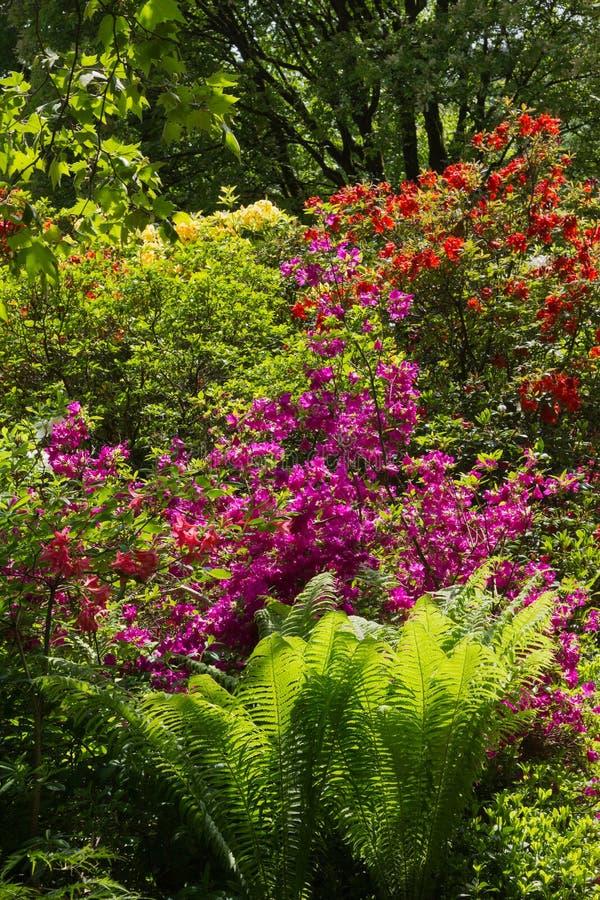 Rododendrons en varen in de tuin stock afbeelding