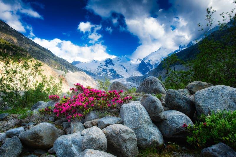 Rododendrons in het hooggebergte onder een Alpiene gletsjer royalty-vrije stock afbeeldingen