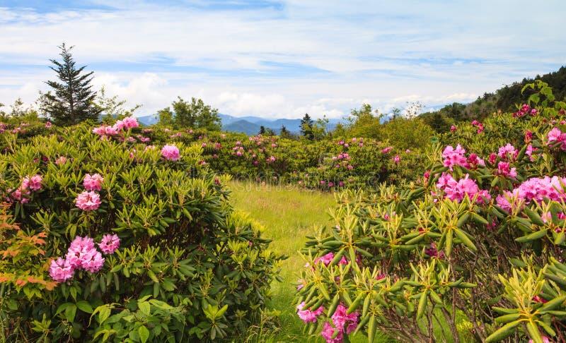 Rododendronsbeeldhouwers Gap TN stock fotografie