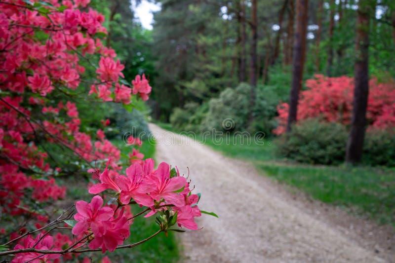 Rododendronsbloesem in een hungaian de tuinbos van het Land in Jeli-arboretum botanische tuin royalty-vrije stock fotografie