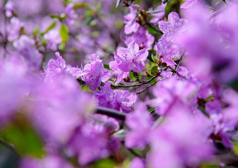 Rododendronstruik tijdens het tot bloei komen stock foto