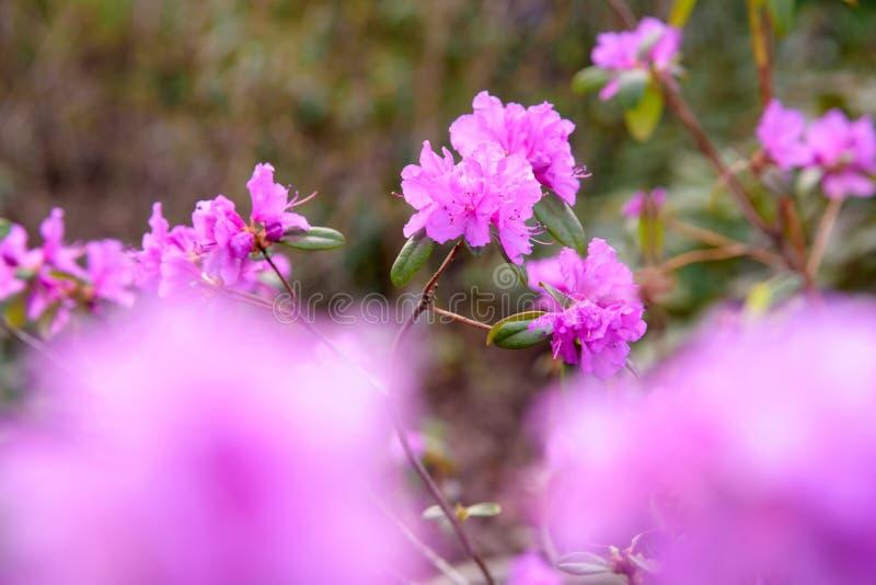 Rododendronstruik tijdens het tot bloei komen stock fotografie