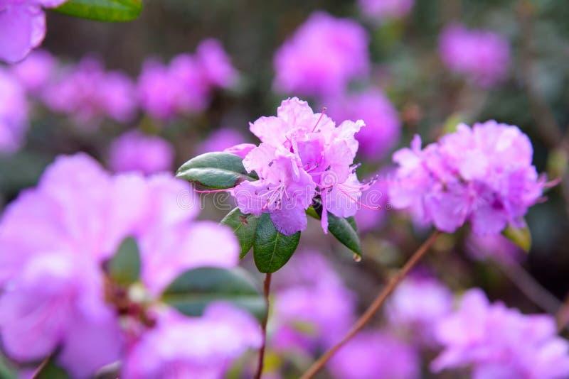 Rododendronstruik tijdens het tot bloei komen stock afbeelding