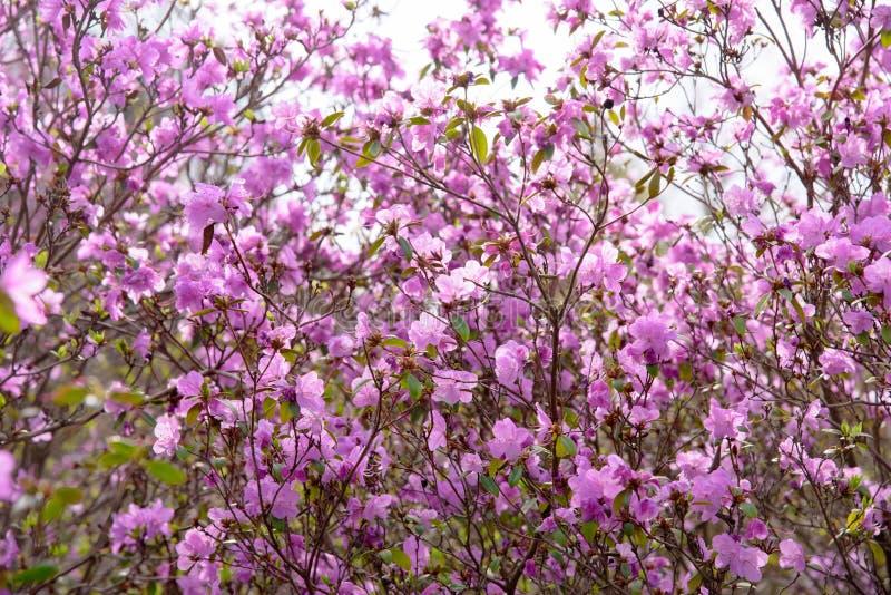 Rododendronstruik tijdens het tot bloei komen stock foto's