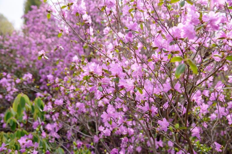 Rododendronstruik tijdens het tot bloei komen stock afbeeldingen