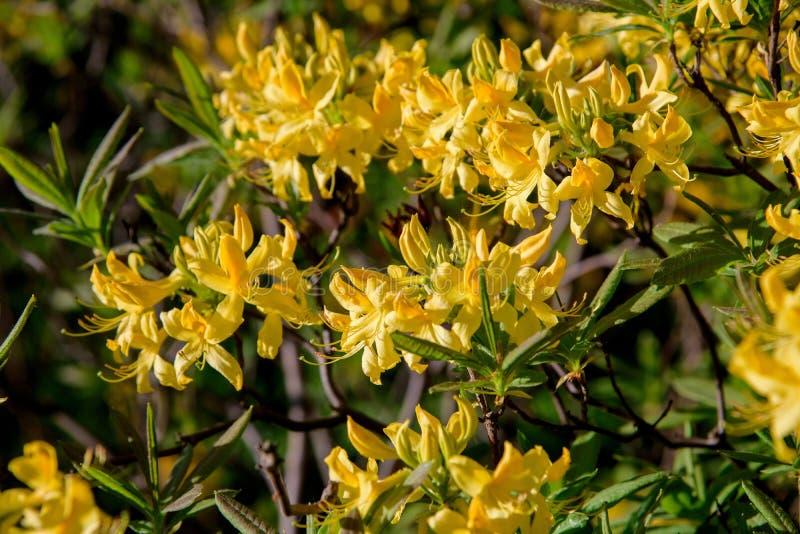 Rododendronstruik tijdens het tot bloei komen royalty-vrije stock fotografie