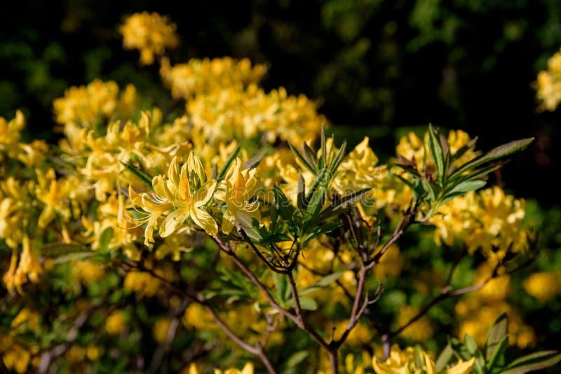 Rododendronstruik tijdens het tot bloei komen royalty-vrije stock foto