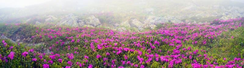 Rododendros Chornogory imagem de stock royalty free