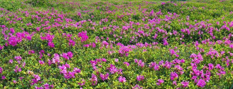 Rododendros Chornogory imagem de stock