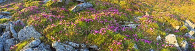 Rododendros Chornogory imagens de stock