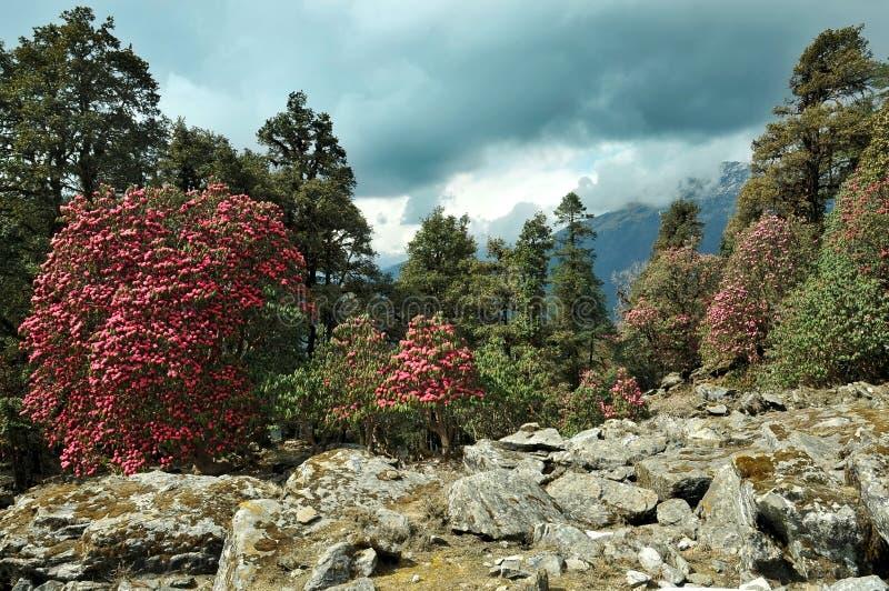 Rododendros de los árboles florecientes foto de archivo libre de regalías