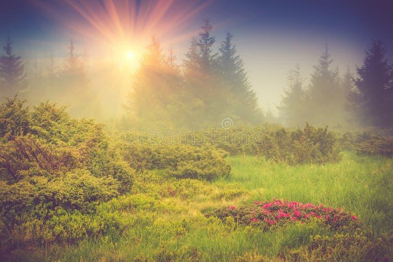 Rododendros florecientes de la flor hermosa en las montañas de la niebla, brillando intensamente por luz del sol imagenes de archivo