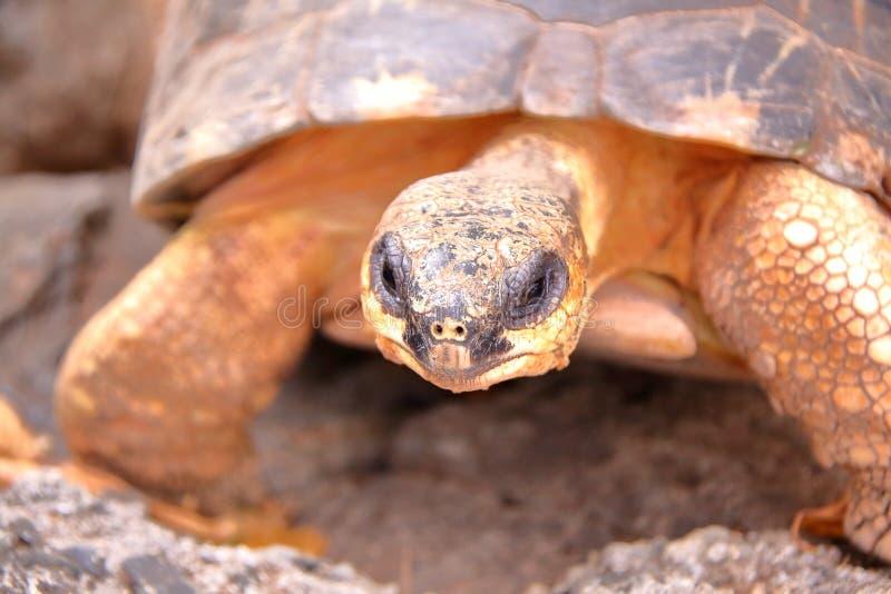 RODRIGUES EILAND, MAURITIUS: Een Schildpad in Rodrigues Island stock fotografie