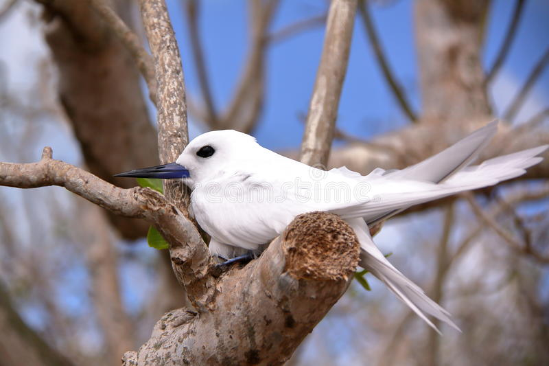 RODRIGUES ISLAND, MAURITIUS: Portrait of a White tern Gygis Alba at Cocos Island royalty free stock photo