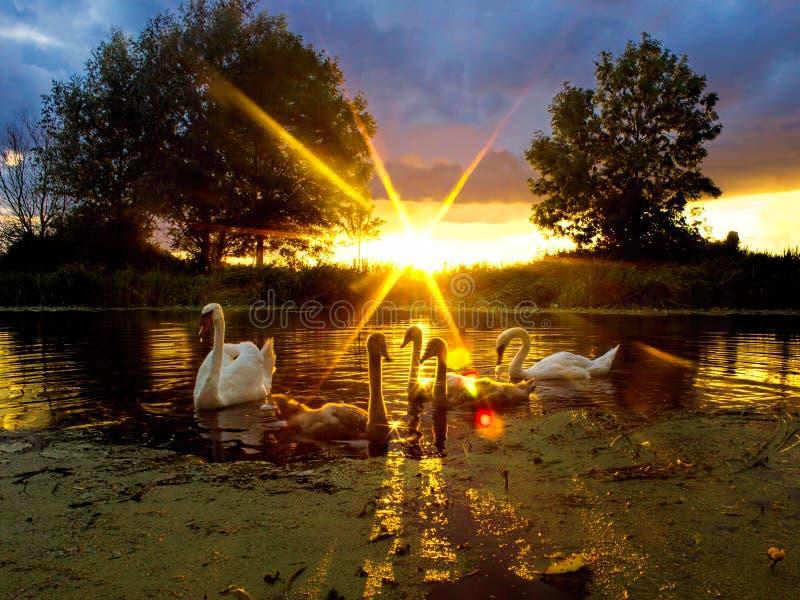 Rodzina łabędź rzeki zmierzch Łabędziątko sylwetki, Piękny natura krajobraz obrazy royalty free