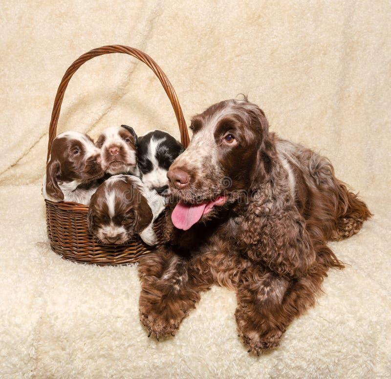 Rodzina łgarski Angielski Cocker Spaniel pies zdjęcia royalty free