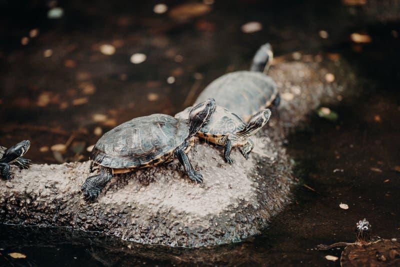 Rodzina żółw zdjęcia stock