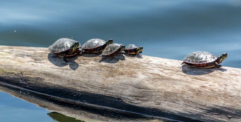 Rodzina żółwie Bierze Sunbath obraz stock