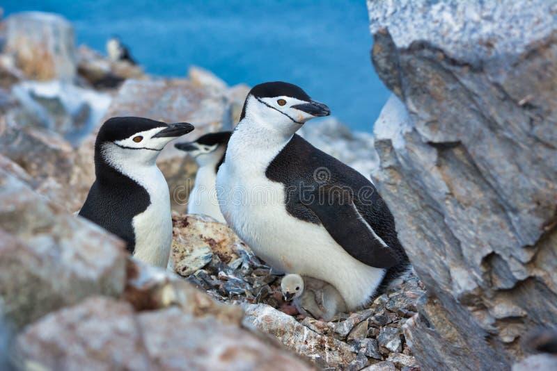 Rodzina Adelie pingwiny gniazduje w Antarctica fotografia stock