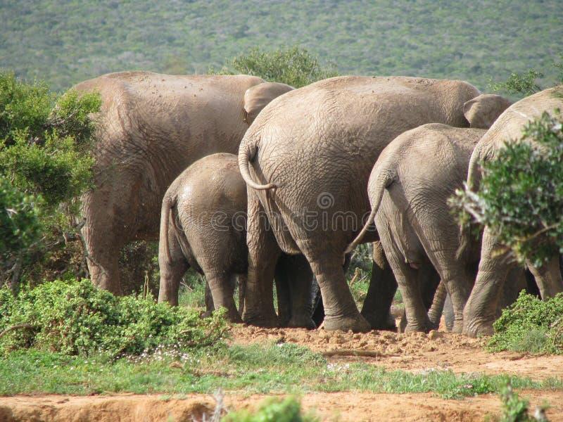 Rodzina Afrykańscy słonie przy pije dziurą obrazy royalty free