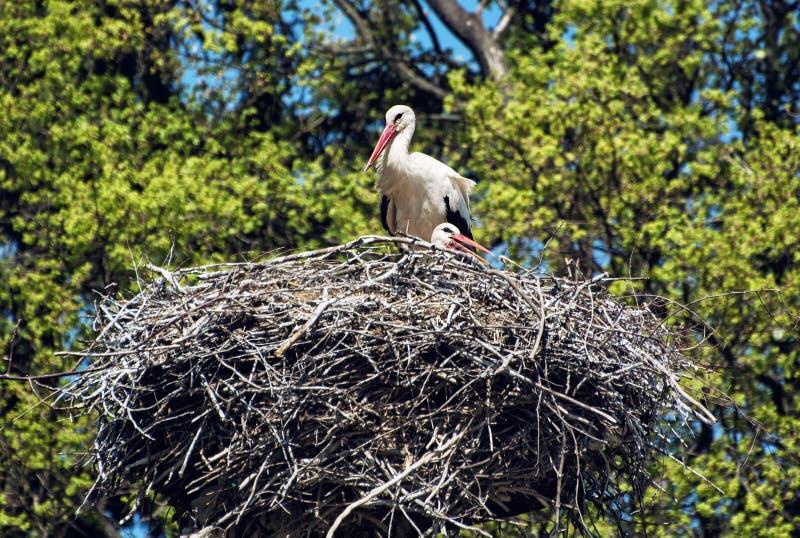 Rodzina Biały bocian w gniazdeczku, zwierzę scen (Ciconia ciconia) zdjęcia stock