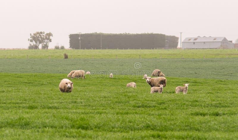 Rodzina białych sheeps stojak w zielenieje pole krajobraz, Nowego zdjęcia royalty free