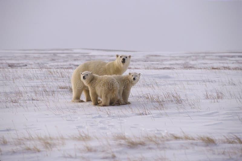 rodzina biegunowy bear zdjęcie stock