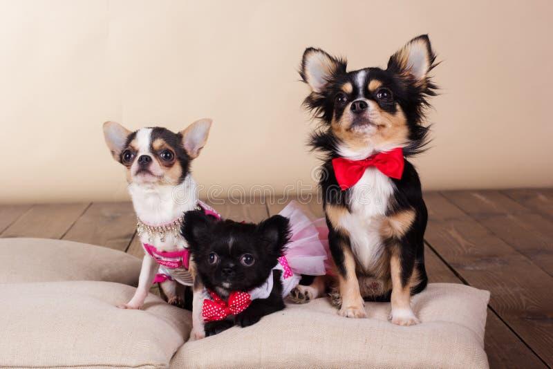 Rodzina chihuahua psy na poduszkach w studiu fotografia stock