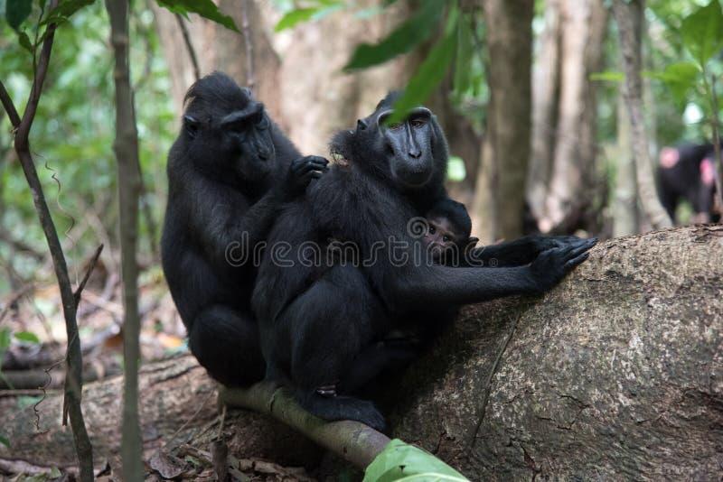 Rodzina czarny czubaty makaka Macaca nigra w Tangkoko tropikalnego lasu deszczowego rezerwacie przyrody w Północnym Sulawes zdjęcie royalty free