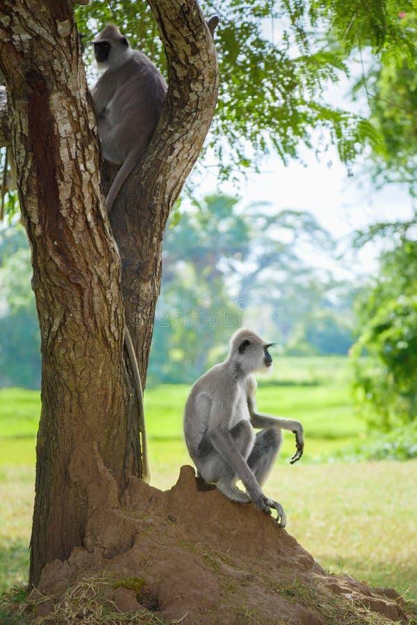 Rodzina drzewo małpy w dzikim obraz royalty free
